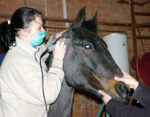 Особенности стрижки нервных лошадей