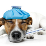 Измерение температуры тела у собак