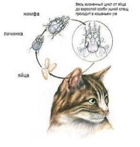 Ушной клещ у <em>животных</em> кошек