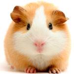 Полезные советы по содержанию морских свинок