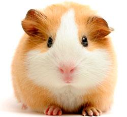 Признаки болезней морских свинок