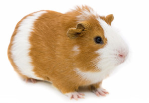 Симптомы заболеваний морских свинок