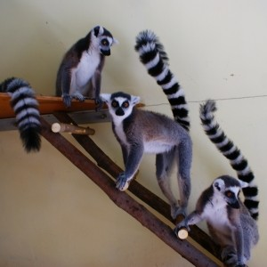 lemur-v-dome