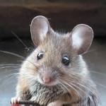 Как правильно содержать мышей
