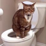 Диарея у кошки – это не просто расстройство