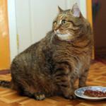 Переедание — главная причина ожирения у кошек