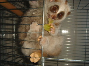 razvedenie-lemurov-v-dome