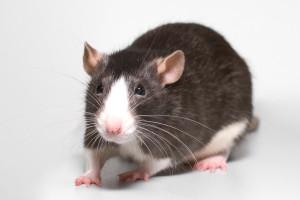 priznaki-bolezni-krys