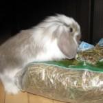 Правильное питание декоративных кроликов