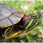 Болезни глаз у черепах
