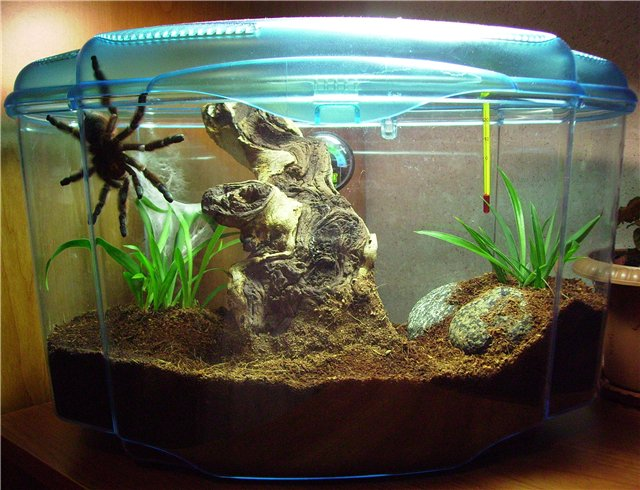 Содержание паука в домашних условиях