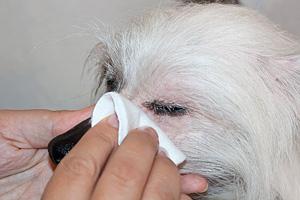 Чистка глаз собаке