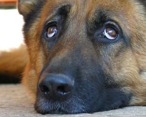 Лечение слезотечения у собак