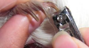 Правила подрезания когтей морским свинкам