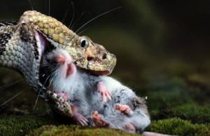 Как правильно кормить змей