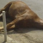 Электротравмы у лошадей