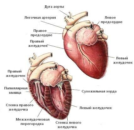 Анатомия и физиология кошки дыхание и кровообращение