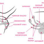 Анатомия и физиология кошки: половая система кошки и кота