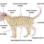 Анатомия и физиология кошки: нервная система