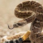 Болезнь телец включений у змей
