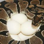 Дистоция у рептилий (нарушение репродуктивного цикла у самок)