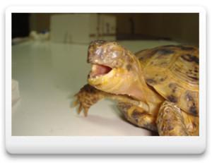 Респираторный дистресс-синдром, слюнотечение, ринит, конъюнктивит, стоматит у черепах