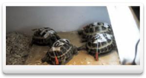 Среднеазиатские черепахи после эзофагостомии