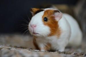 Карантин для морской свинки