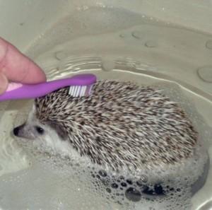 Как мыть ежика