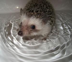 Как купать ёжика