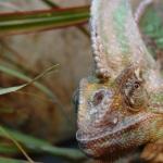 Абсцессы у рептилий