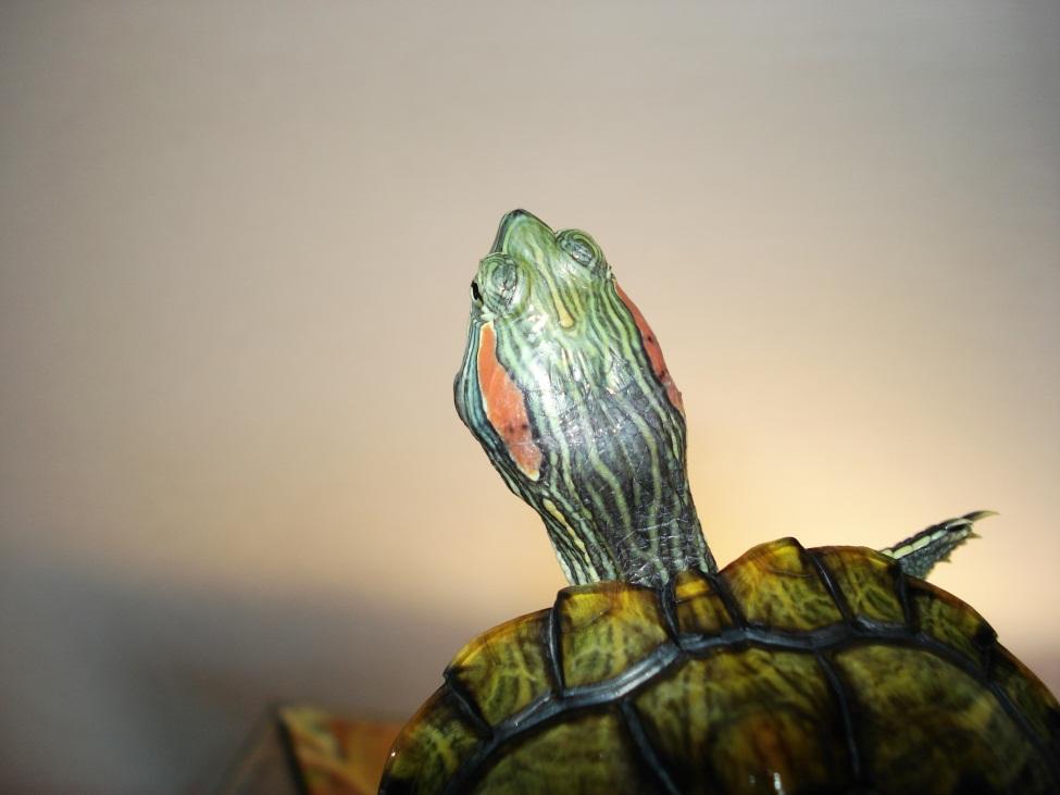 Отит у красноухой черепахи, асимметрия головы