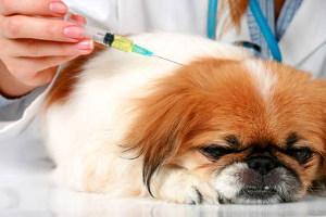 Правила вакцинации собак