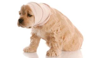 У собаки кашель с кровью, как помочь