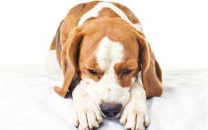 Какая рвота опасна для собаки