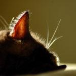 У кошки прыщ на ухе