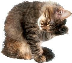 Абсцесс у кошек / котов / котят