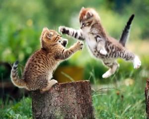 Гнойник у кошек / котов / котят