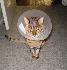 Что делать, если у кошки / кота / котенка абсцесс (гнойник, нарыв)