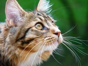Как проявляется акне у кошек и котов?