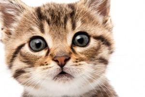 Акне (прыщи, угри и черные точки) у кошек и котов