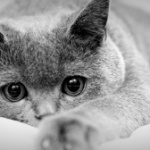 Все об абсцессах (гнойниках, нарывах) у кошек / котов / котят