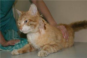 Фазы заживления ран у кошек, котов и котят