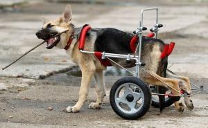 Что делает ветеринар при отказе задних лап у собаки