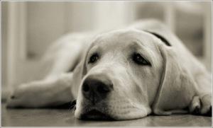 У собаки отказали задние лапы - что делать?