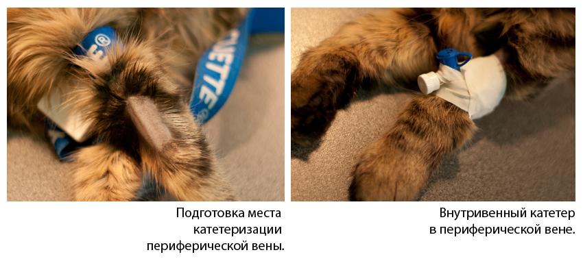 Правила постановки периферического катетера у собак и кошек