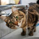 Почему кот или кошка много пьет воды?