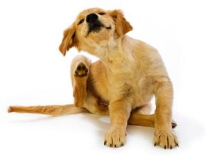 Зуд кожи у собак