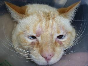 Грибкиибактерии, какпричина дерматита у кошек