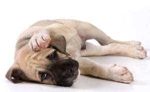 Чесоточные заболевания у собак